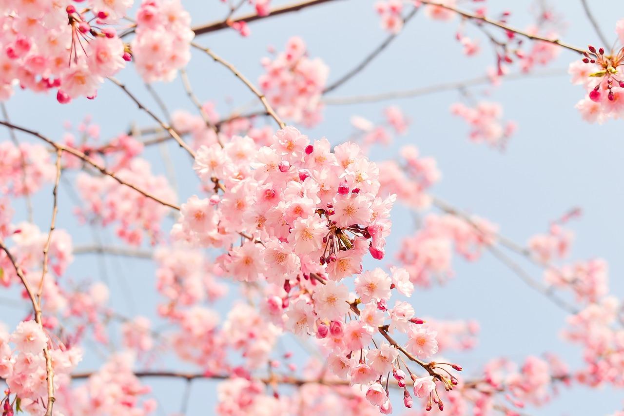 花見は公園に行こう東京のおすすめ桜スポット!!